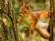 爬树的小动物松鼠高清图片