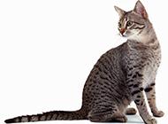 埃及貓神情呆愣可愛圖片