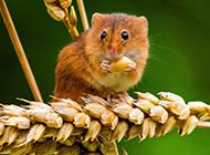 偷吃糧食的可愛中華小田鼠圖片