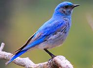 北美藍知更鳥圖片萌萌的