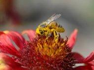 辛勤采蜜的小蜜蜂高清壁纸