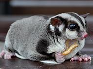 小飛鼠寶寶吃蟲子圖片