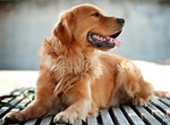 纯种黄棕色金毛狗图片大全