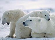 北極健壯北極熊高清動物圖片
