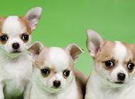 三只可愛的吉娃娃小狗圖片