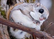 野生小飛鼠可愛機靈圖片