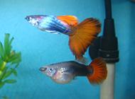 魚缸里的熱帶魚鳳尾魚圖片