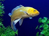 顏色耀眼的黃錦鯉圖片