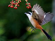 灰背伯劳鸟展翅飞翔图片