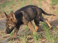 4个月的东德牧羊犬户外可爱行走图片