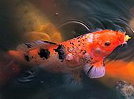 水池暢游的花錦鯉圖片