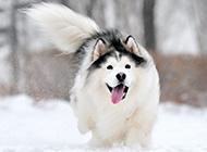 白色雪橇犬雪地奔跑图片