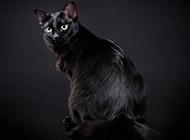 孟買貓淘氣耍寶圖片