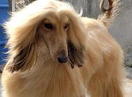 阿富汗獵犬高貴圖片大全