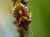 椿象昆虫图片高清特写