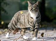 埃及貓戶外玩耍圖片