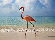 火烈鸟高清动物图片