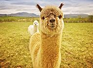 性情温驯的草泥马动物图片