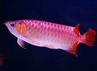 紅龍魚高清圖片電腦壁紙