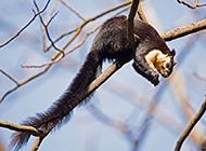 靈巧敏捷的巨松鼠圖片