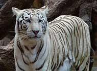 威武雄壯的白色孟加拉虎高清圖片