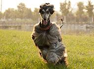 阿富汗獵犬奔跑圖片大全
