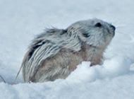 北極旅鼠雪地覓食圖片