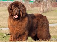 肉呼呼的紐芬蘭犬可愛模樣圖片