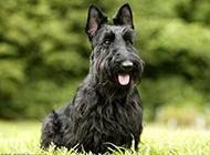 毛發濃密的蘇格蘭梗犬圖片