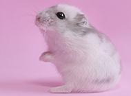 活潑可愛的奶茶倉鼠圖片大全