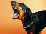 纯种博文德系杜宾犬愤怒图片