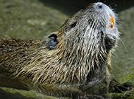 最大的海貍鼠圖片欣賞