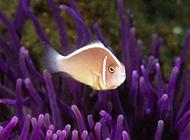 澳洲小丑魚海底暢游圖片
