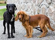 英国可卡犬户外特写图片