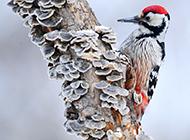 中国啄木鸟图片招人喜爱