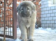 六個月高加索犬警惕表情圖片