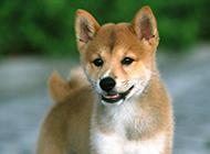 三个月大的小柴犬图片