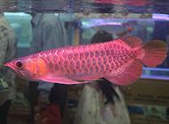 身體修長的超級紅龍魚圖片