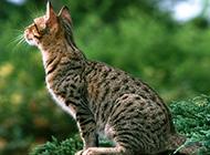 亞洲豹貓側面特寫圖片