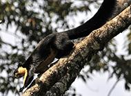 動作敏捷的海南巨松鼠圖片