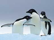 温馨企鹅家庭高清图片