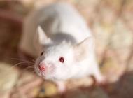 可爱小白鼠顽皮机灵图片