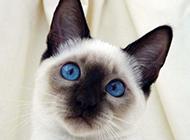 纯种暹罗猫呆萌图片壁纸
