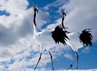 美丽的丹顶鹤鸟类图片精美特写