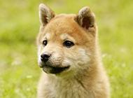 萌萌噠日本柴犬小時候圖片