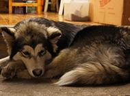 悶悶不樂的大型阿拉斯加犬圖片