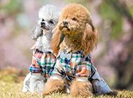 玩具貴賓犬圖片可愛迷人