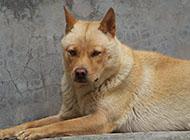 中華田園犬威猛外表圖片