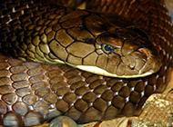 揭秘毒蛇之王:眼鏡王蛇的死亡舞步