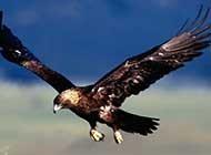 展翅高飛的老鷹特寫高清組圖